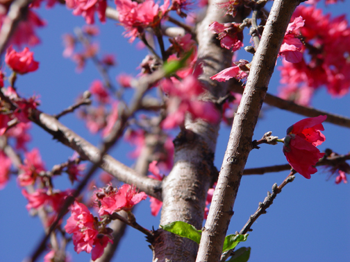 Peach_blossoms_2