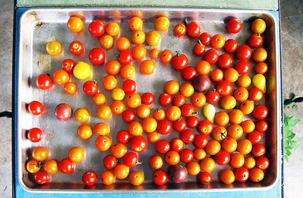 windfall-tomatoes